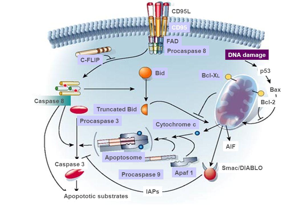 FAD Procaspase 8 Caspase 8 Bid Truncated Bid Procaspase 3 Caspase 3 Apopototic substrates Apoptosome Procaspase 9 IAPs Smac/DIABLO AIF Cytochrome c Ap