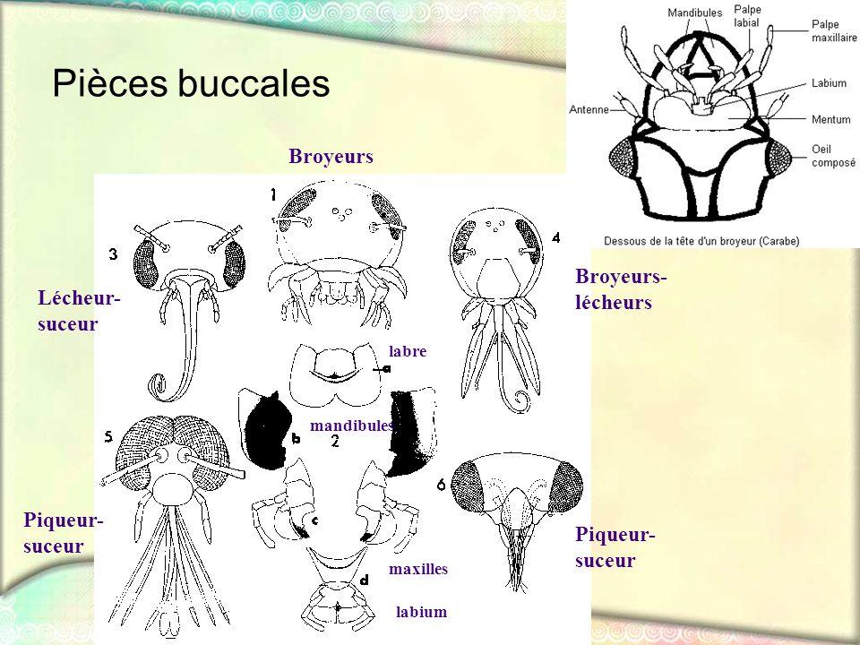 Pièces buccales Broyeurs Lécheur- suceur Broyeurs- lécheurs Piqueur- suceur Piqueur- suceur labre mandibules maxilles labium