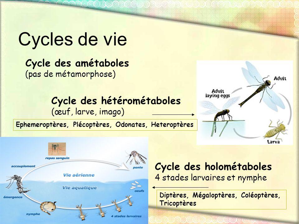 Cycles de vie Cycle des amétaboles (pas de métamorphose) Cycle des hétérométaboles (œuf, larve, imago) Cycle des holométaboles 4 stades larvaires et n