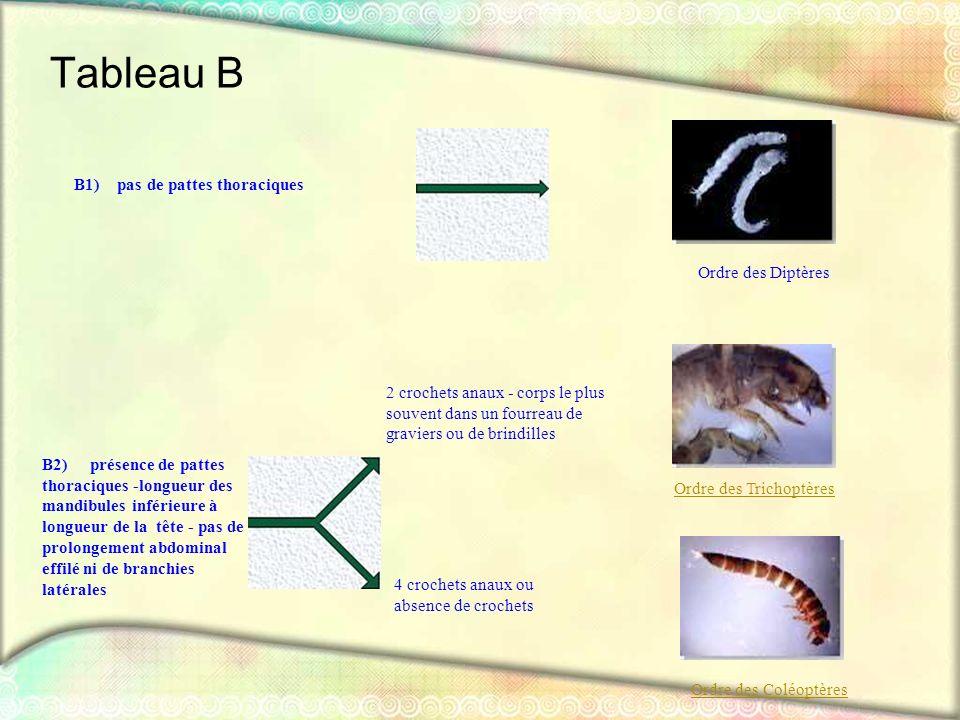 Tableau B B1) pas de pattes thoraciques Ordre des Diptères B2) présence de pattes thoraciques -longueur des mandibules inférieure à longueur de la têt