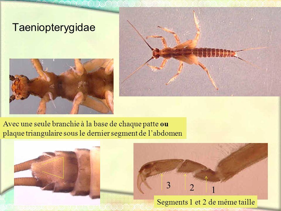 Taeniopterygidae Segments 1 et 2 de même taille Avec une seule branchie à la base de chaque patte ou plaque triangulaire sous le dernier segment de la