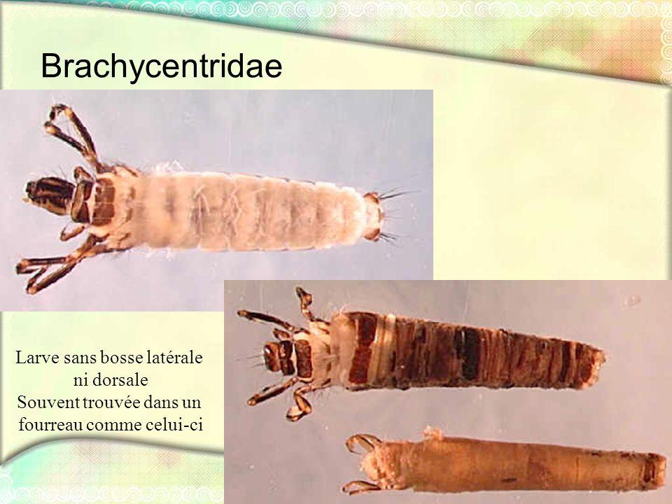 Brachycentridae Larve sans bosse latérale ni dorsale Souvent trouvée dans un fourreau comme celui-ci