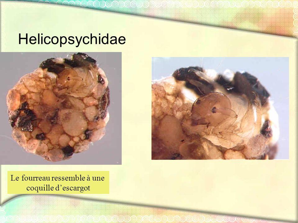 Helicopsychidae Le fourreau ressemble à une coquille descargot