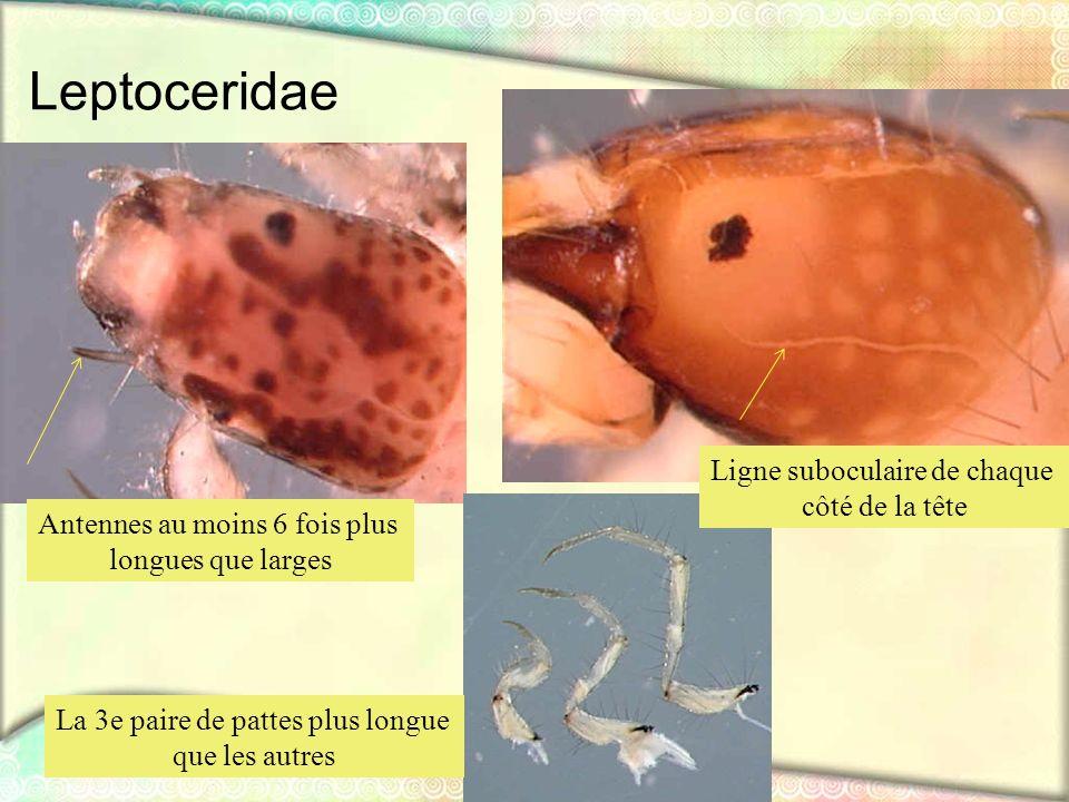 Leptoceridae Ligne suboculaire de chaque côté de la tête Antennes au moins 6 fois plus longues que larges La 3e paire de pattes plus longue que les au