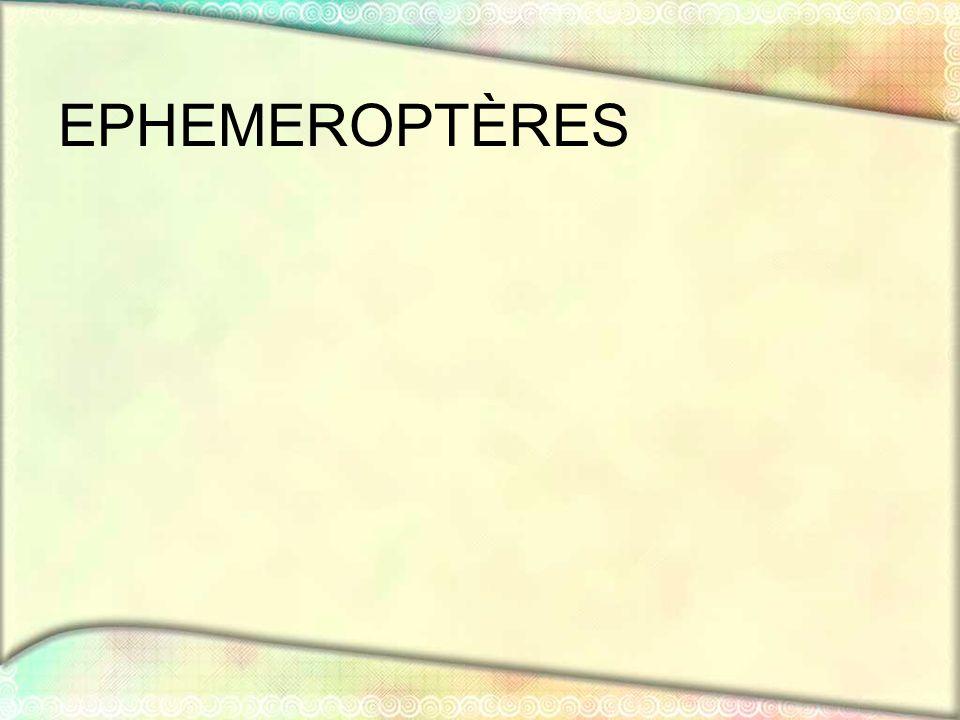 EPHEMEROPTÈRES