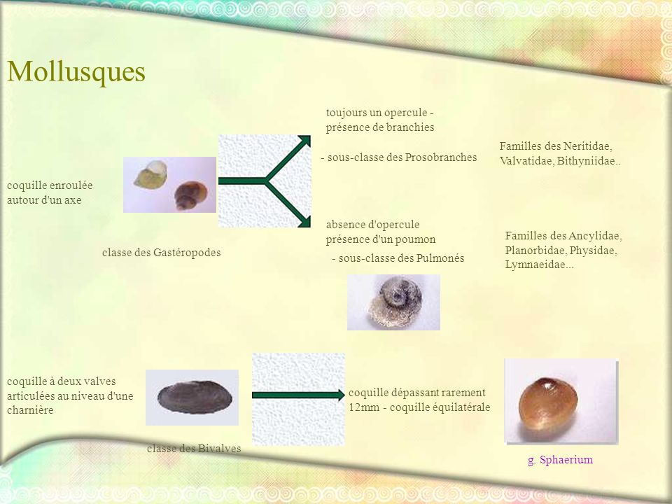 Mollusques Familles des Ancylidae, Planorbidae, Physidae, Lymnaeidae... toujours un opercule - présence de branchies - sous-classe des Prosobranches F