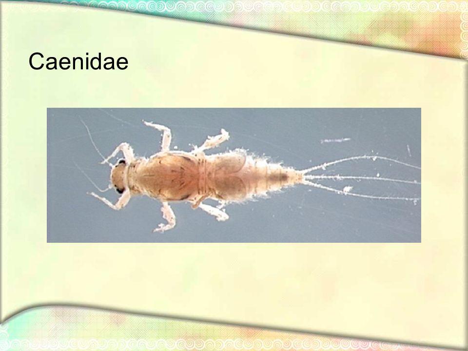 Caenidae
