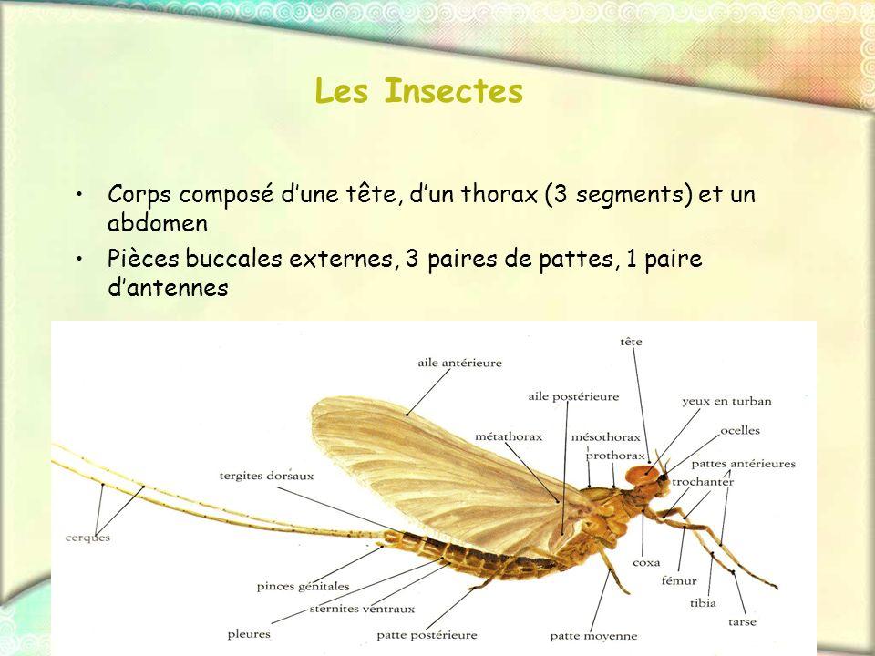 Les Insectes Corps composé dune tête, dun thorax (3 segments) et un abdomen Pièces buccales externes, 3 paires de pattes, 1 paire dantennes