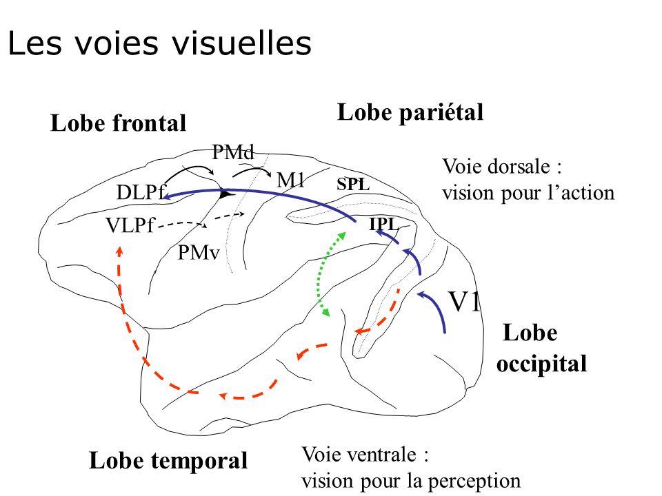 Les voies visuelles Lobe pariétal Lobe frontal DLPf PMd PMv M1 SPL IPL V1 Lobe occipital Lobe temporal VLPf Voie dorsale : vision pour laction Voie ventrale : vision pour la perception