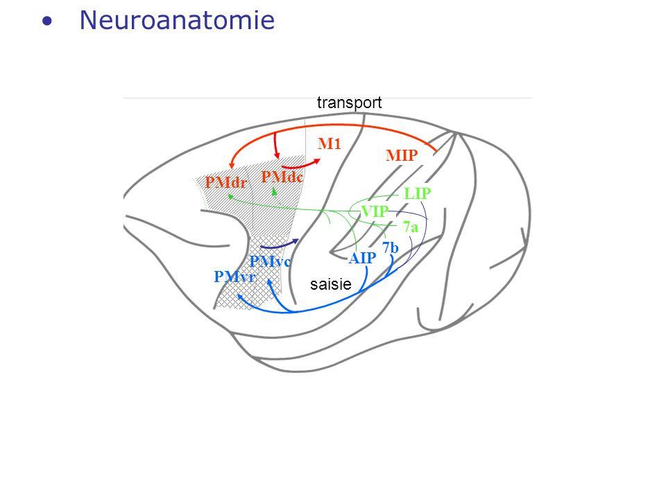 Neuroanatomie PMdr PMdc PMvr MIP LIP 7a 7b VIP AIP M1 PMvc transport saisie