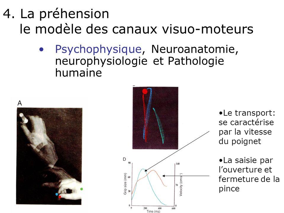 Le système fronto-striatal GPe GPi Putamen n. caudé SNc SNr n. subthal. Thalamus
