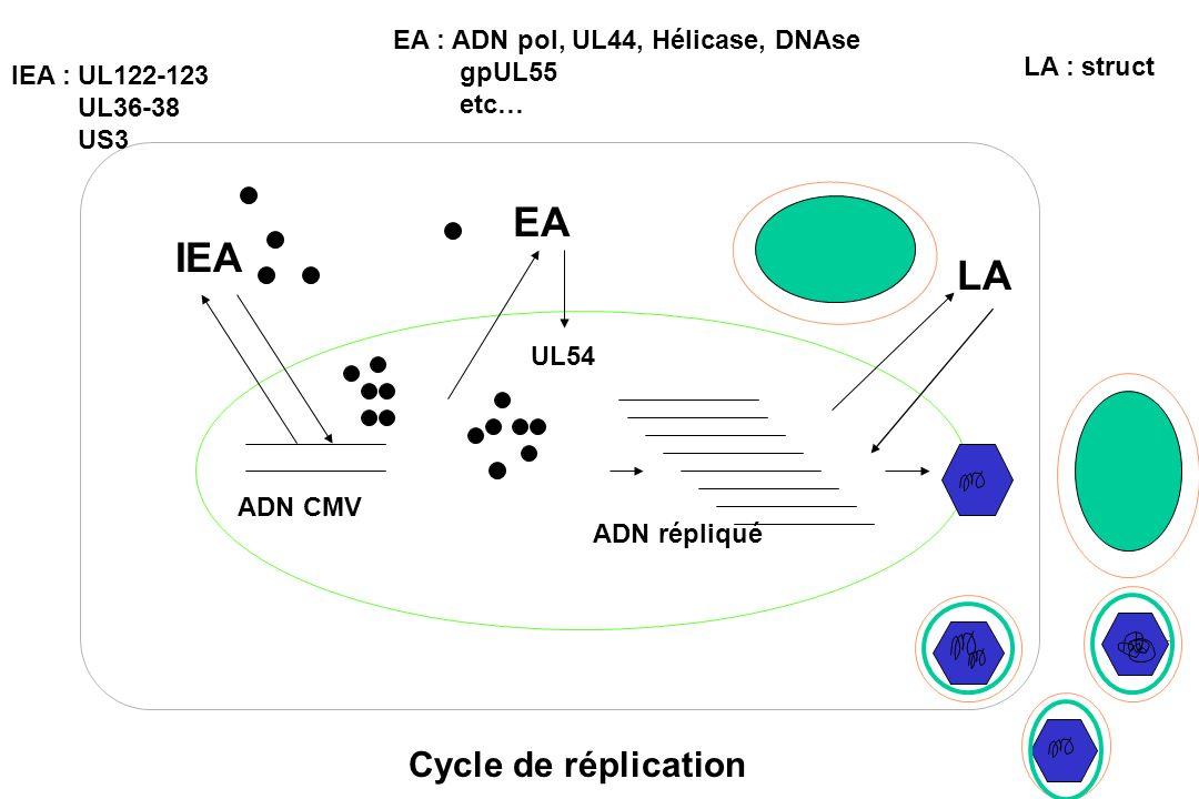 ADN CMV IEA EA LA UL54 ADN répliqué IEA :UL122-123 UL36-38 US3 Cycle de réplication EA : ADN pol, UL44, Hélicase, DNAse gpUL55 etc… LA : struct