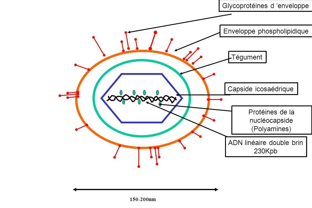 Capside icosaédrique ADN linéaire double brin 230Kpb Glycoprotéines d enveloppe 150-200nm Tégument Protéines de la nucléocapside (Polyamines) Envelopp