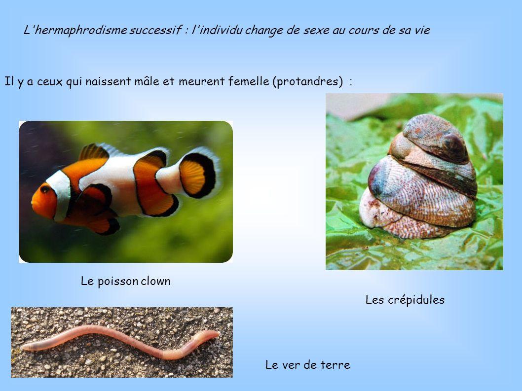 L'hermaphrodisme successif : l'individu change de sexe au cours de sa vie Il y a ceux qui naissent mâle et meurent femelle (protandres) : Le poisson c
