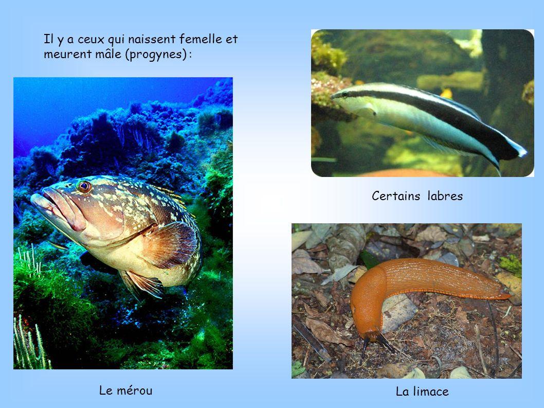 Il y a ceux qui naissent femelle et meurent mâle (progynes) : Le mérou La limace Certains labres
