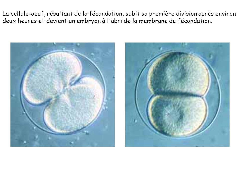 La cellule-oeuf, résultant de la fécondation, subit sa première division après environ deux heures et devient un embryon à l'abri de la membrane de fé