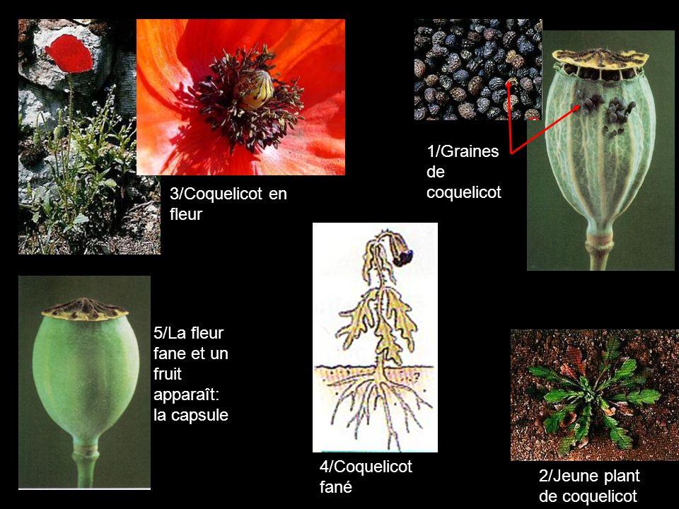 3/Coquelicot en fleur 5/La fleur fane et un fruit apparaît: la capsule 1/Graines de coquelicot 2/Jeune plant de coquelicot 4/Coquelicot fané