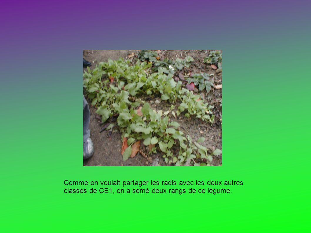 Comme on voulait partager les radis avec les deux autres classes de CE1, on a semé deux rangs de ce légume.