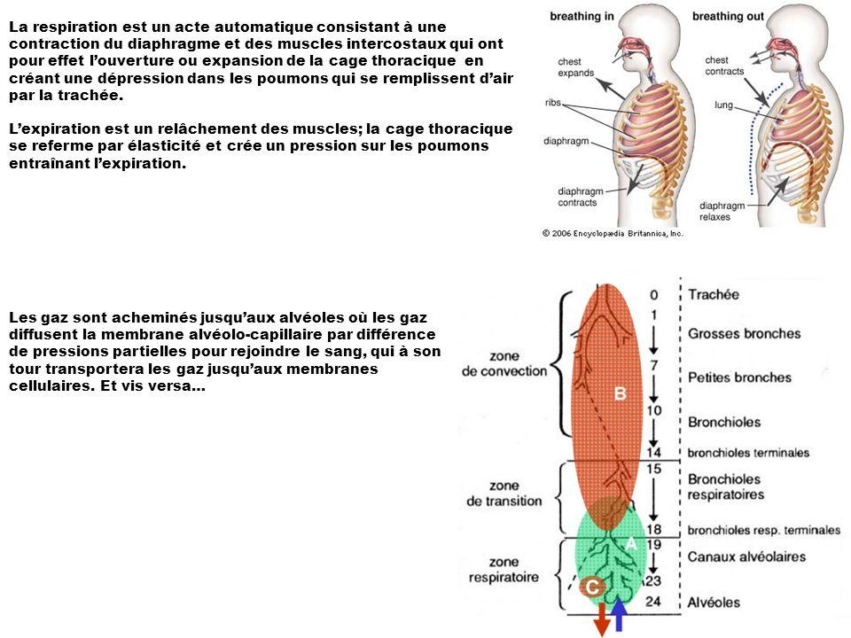 La respiration est un acte automatique consistant à une contraction du diaphragme et des muscles intercostaux qui ont pour effet louverture ou expansion de la cage thoracique en créant une dépression dans les poumons qui se remplissent dair par la trachée.