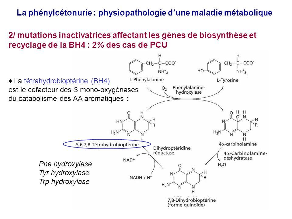 La phénylcétonurie : physiopathologie dune maladie métabolique 2/ mutations inactivatrices affectant les gènes de biosynthèse et recyclage de la BH4 : 2% des cas de PCU Phe hydroxylase Tyr hydroxylase Trp hydroxylase La tétrahydrobioptérine (BH4) est le cofacteur des 3 mono-oxygénases du catabolisme des AA aromatiques :