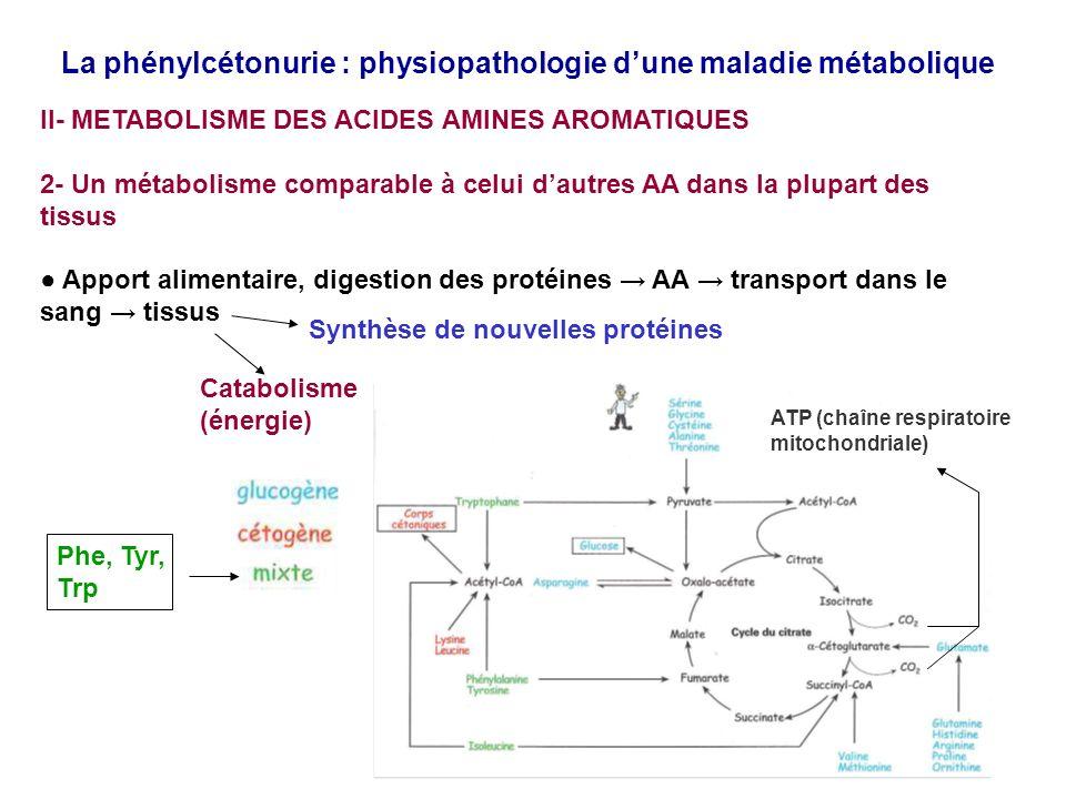 La phénylcétonurie : physiopathologie dune maladie métabolique II- METABOLISME DES ACIDES AMINES AROMATIQUES 2- Un métabolisme comparable à celui dautres AA dans la plupart des tissus Apport alimentaire, digestion des protéines AA transport dans le sang tissus Synthèse de nouvelles protéines Catabolisme (énergie) Phe, Tyr, Trp ATP (chaîne respiratoire mitochondriale)