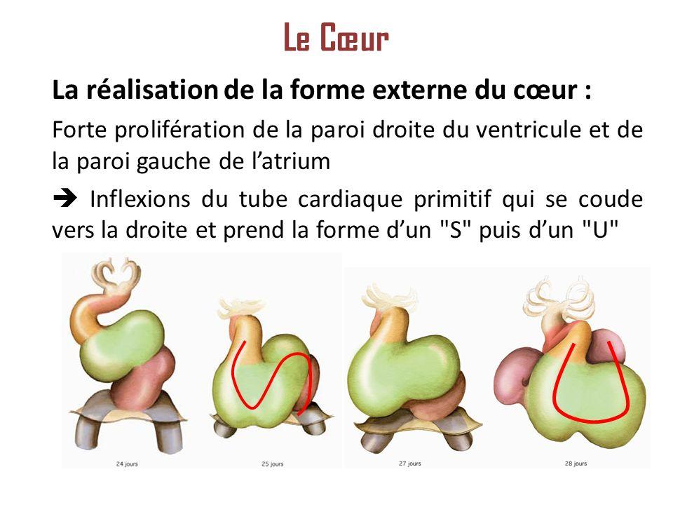 La réalisation de la forme externe du cœur : Forte prolifération de la paroi droite du ventricule et de la paroi gauche de latrium Inflexions du tube cardiaque primitif qui se coude vers la droite et prend la forme dun S puis dun U Le Cœur