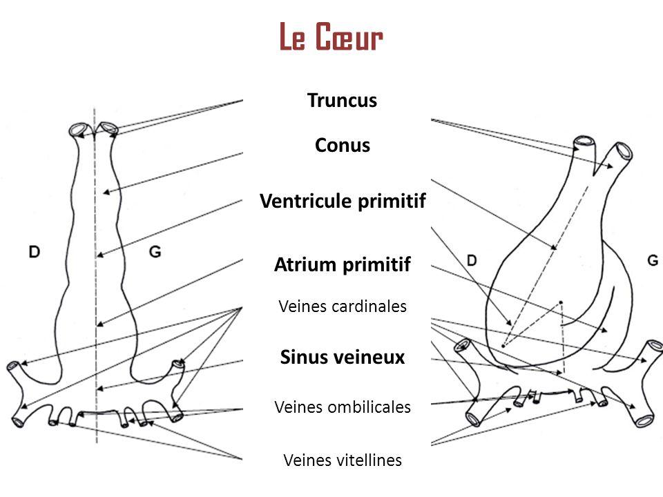Truncus Conus Ventricule primitif Atrium primitif Veines cardinales Sinus veineux Veines ombilicales Veines vitellines