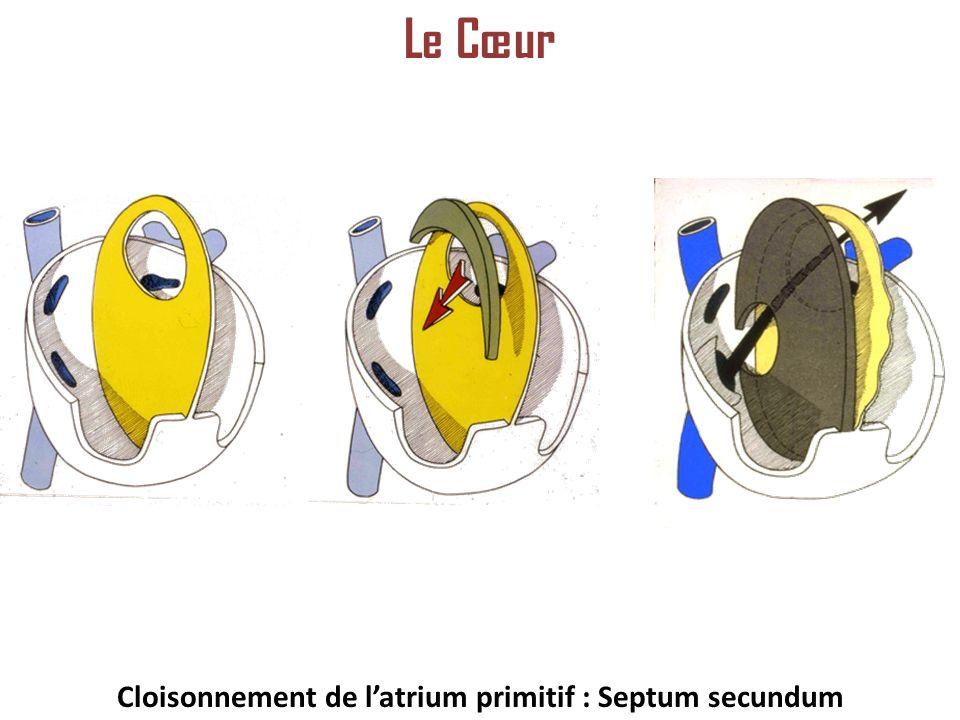 Cloisonnement de latrium primitif : Septum secundum