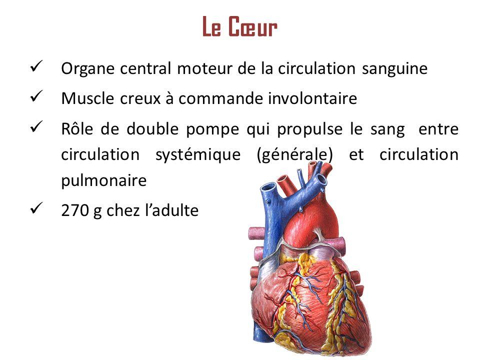 Organe central moteur de la circulation sanguine Muscle creux à commande involontaire Rôle de double pompe qui propulse le sang entre circulation systémique (générale) et circulation pulmonaire 270 g chez ladulte Le Cœur