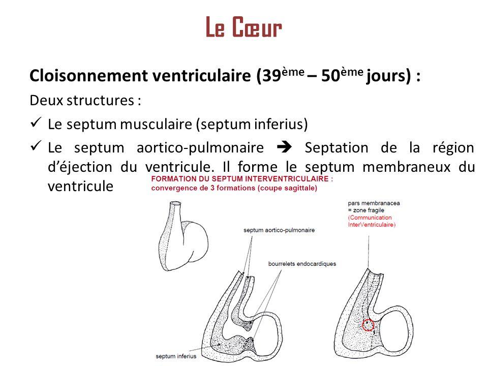 Cloisonnement ventriculaire (39 ème – 50 ème jours) : Deux structures : Le septum musculaire (septum inferius) Le septum aortico-pulmonaire Septation de la région déjection du ventricule.