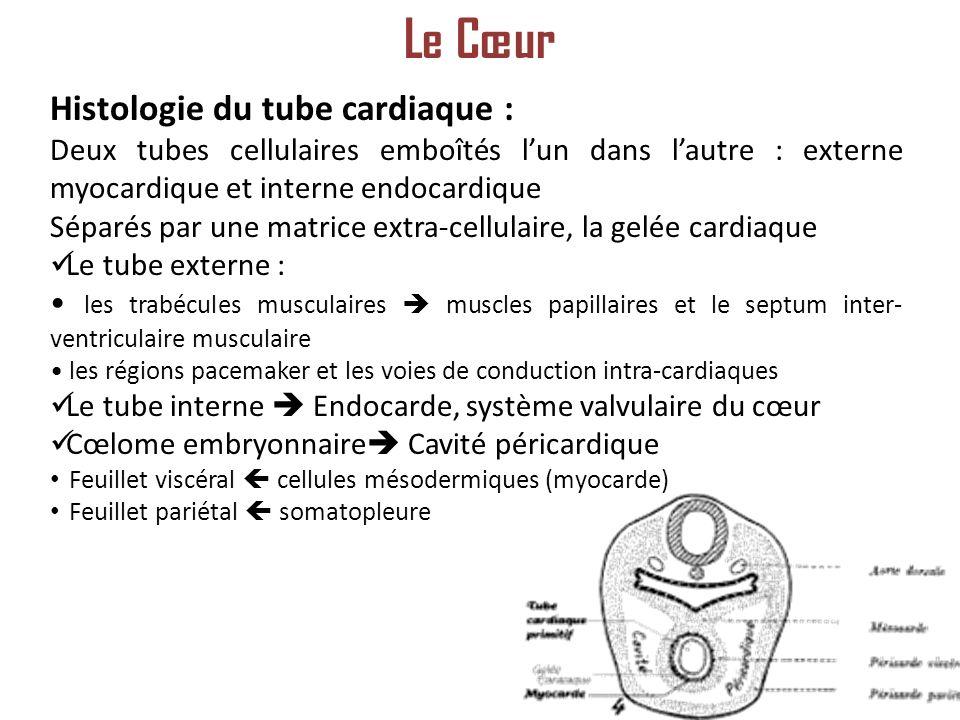 Histologie du tube cardiaque : Deux tubes cellulaires emboîtés lun dans lautre : externe myocardique et interne endocardique Séparés par une matrice extra-cellulaire, la gelée cardiaque Le tube externe : les trabécules musculaires muscles papillaires et le septum inter- ventriculaire musculaire les régions pacemaker et les voies de conduction intra-cardiaques Le tube interne Endocarde, système valvulaire du cœur Cœlome embryonnaire Cavité péricardique Feuillet viscéral cellules mésodermiques (myocarde) Feuillet pariétal somatopleure