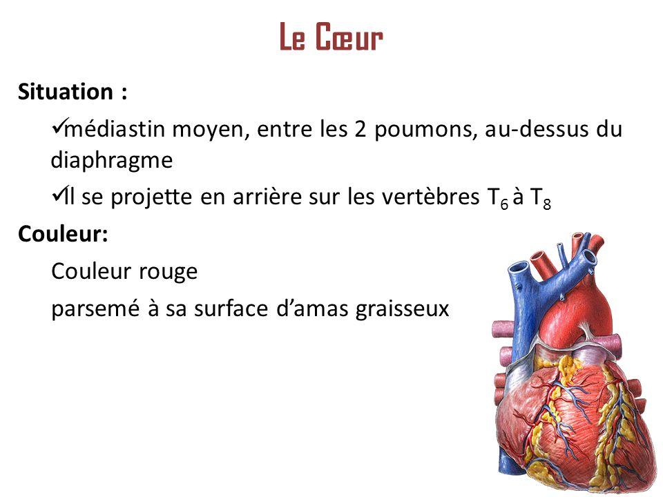 Situation : médiastin moyen, entre les 2 poumons, au-dessus du diaphragme Il se projette en arrière sur les vertèbres T 6 à T 8 Couleur: Couleur rouge parsemé à sa surface damas graisseux Le Cœur