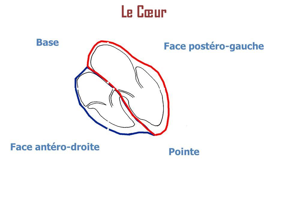 Base Face postéro-gauche Face antéro-droite Pointe Le Cœur
