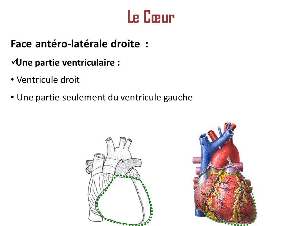 Face antéro-latérale droite : Une partie ventriculaire : Ventricule droit Une partie seulement du ventricule gauche Le Cœur