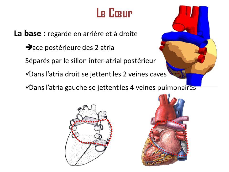 La base : regarde en arrière et à droite Face postérieure des 2 atria Séparés par le sillon inter-atrial postérieur Dans latria droit se jettent les 2 veines caves Dans latria gauche se jettent les 4 veines pulmonaires Le Cœur
