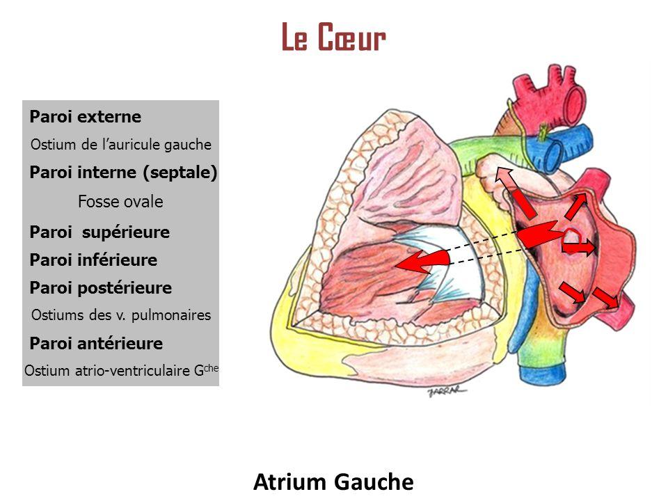 Paroi externe Ostium de lauricule gauche Fosse ovale Ostium atrio-ventriculaire G che Ostiums des v.