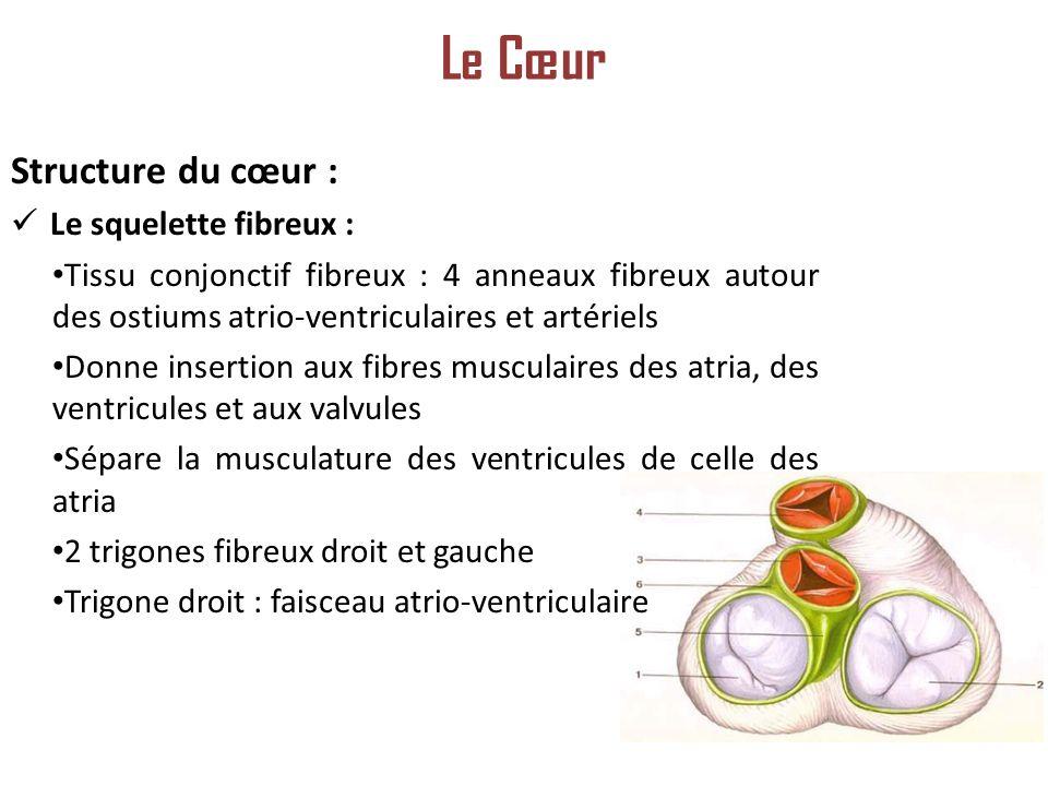 Structure du cœur : Le squelette fibreux : Tissu conjonctif fibreux : 4 anneaux fibreux autour des ostiums atrio-ventriculaires et artériels Donne insertion aux fibres musculaires des atria, des ventricules et aux valvules Sépare la musculature des ventricules de celle des atria 2 trigones fibreux droit et gauche Trigone droit : faisceau atrio-ventriculaire Le Cœur