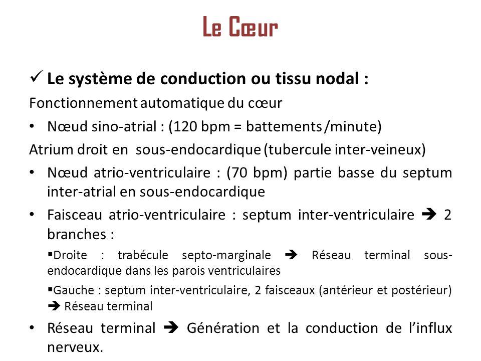 Le système de conduction ou tissu nodal : Fonctionnement automatique du cœur Nœud sino-atrial : (120 bpm = battements /minute) Atrium droit en sous-endocardique (tubercule inter-veineux) Nœud atrio-ventriculaire : (70 bpm) partie basse du septum inter-atrial en sous-endocardique Faisceau atrio-ventriculaire : septum inter-ventriculaire 2 branches : Droite : trabécule septo-marginale Réseau terminal sous- endocardique dans les parois ventriculaires Gauche : septum inter-ventriculaire, 2 faisceaux (antérieur et postérieur) Réseau terminal Réseau terminal Génération et la conduction de linflux nerveux.