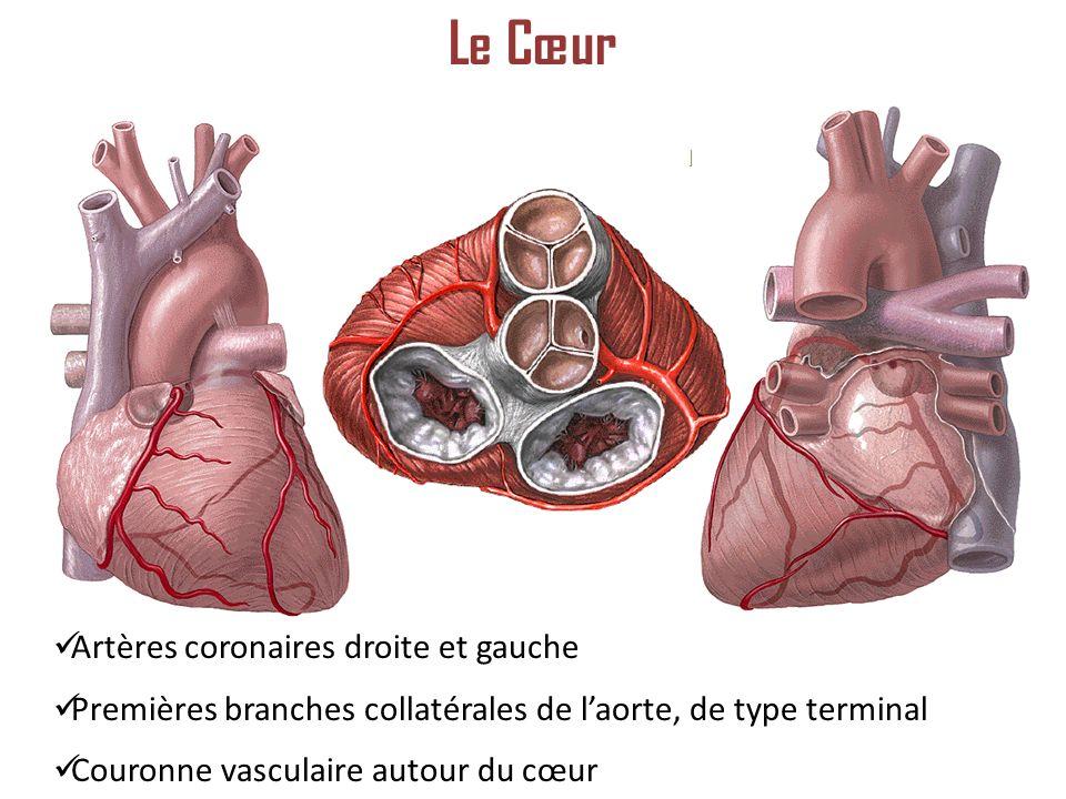 Artères coronaires droite et gauche Premières branches collatérales de laorte, de type terminal Couronne vasculaire autour du cœur Le Cœur