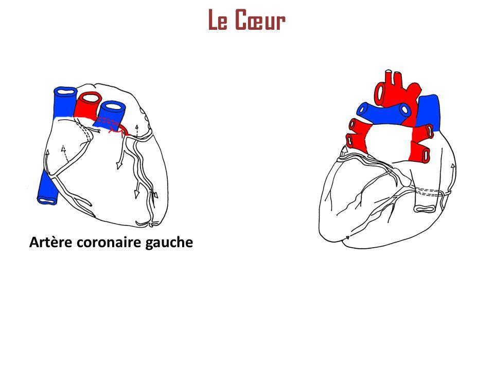 Artère coronaire gauche Le Cœur