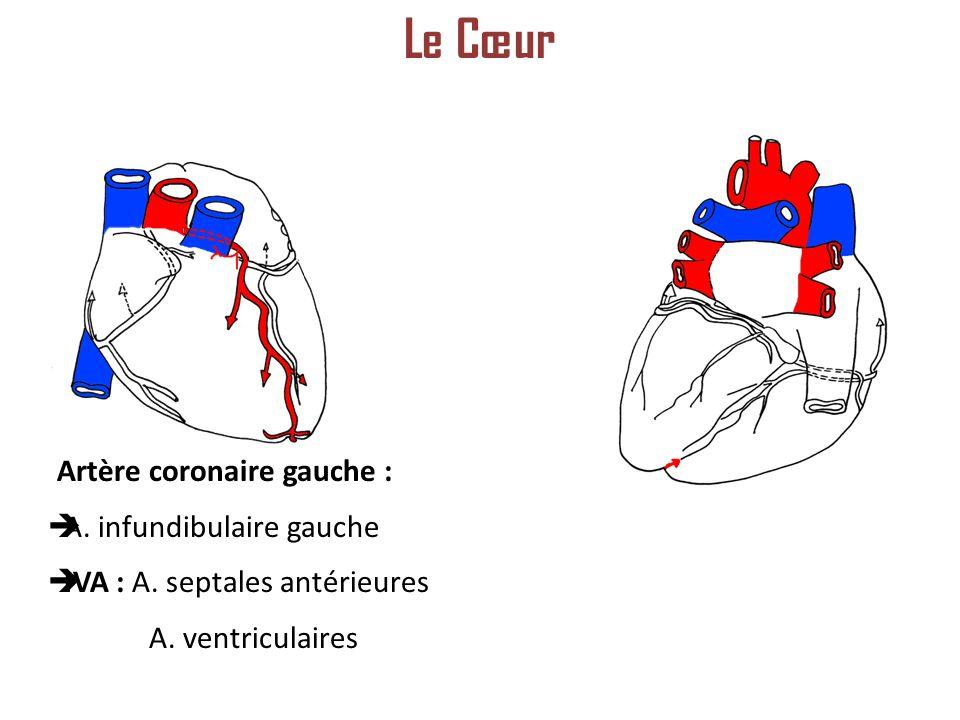 Artère coronaire gauche : A.infundibulaire gauche IVA : A.