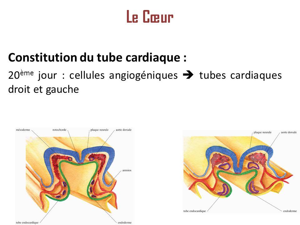 Constitution du tube cardiaque : 20 ème jour : cellules angiogéniques tubes cardiaques droit et gauche Le Cœur