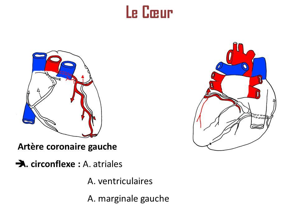 Artère coronaire gauche A. circonflexe : A. atriales A. ventriculaires A. marginale gauche Le Cœur