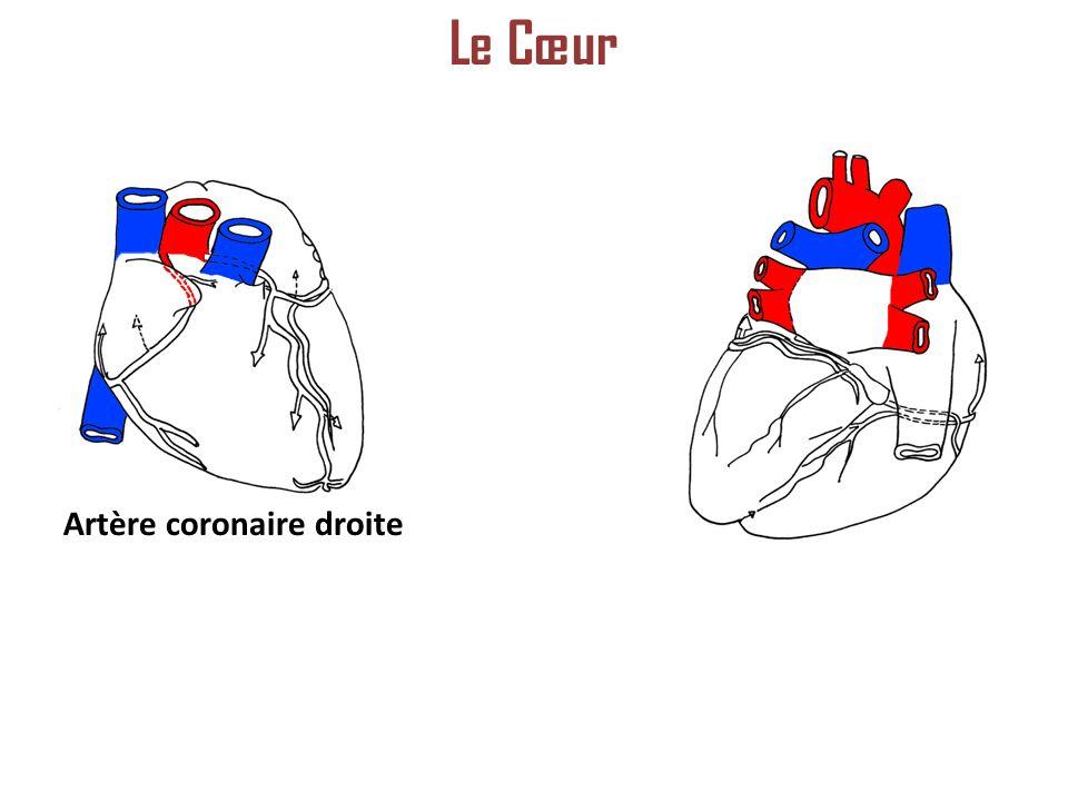 Artère coronaire droite Le Cœur