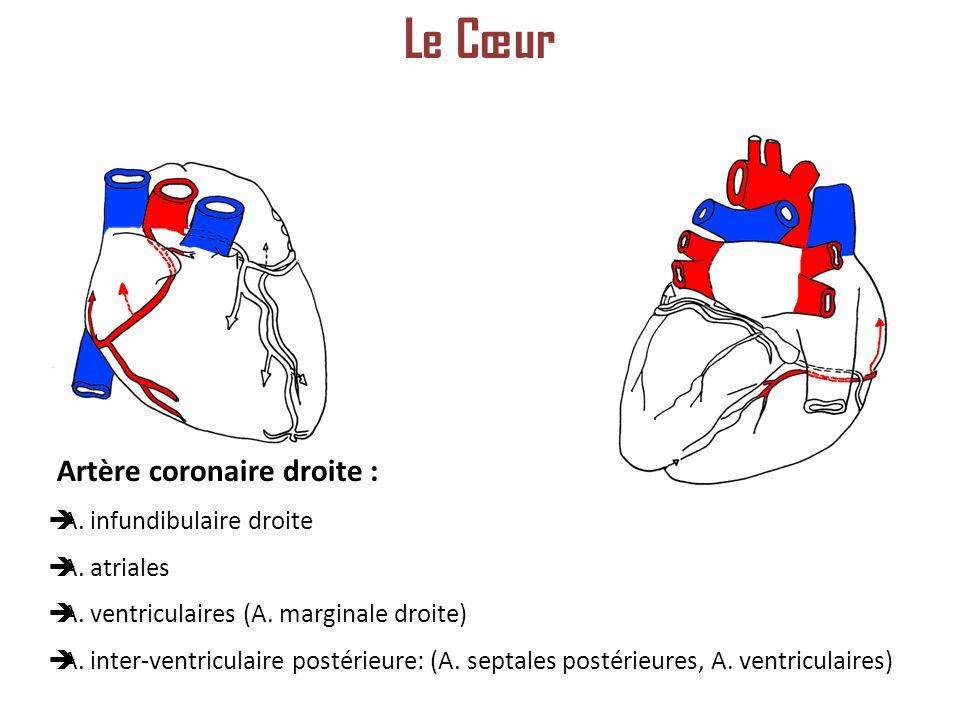 Artère coronaire droite : A.infundibulaire droite A.