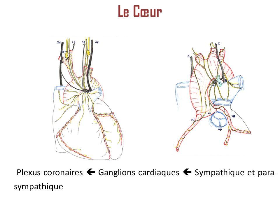 Plexus coronaires Ganglions cardiaques Sympathique et para- sympathique Le Cœur