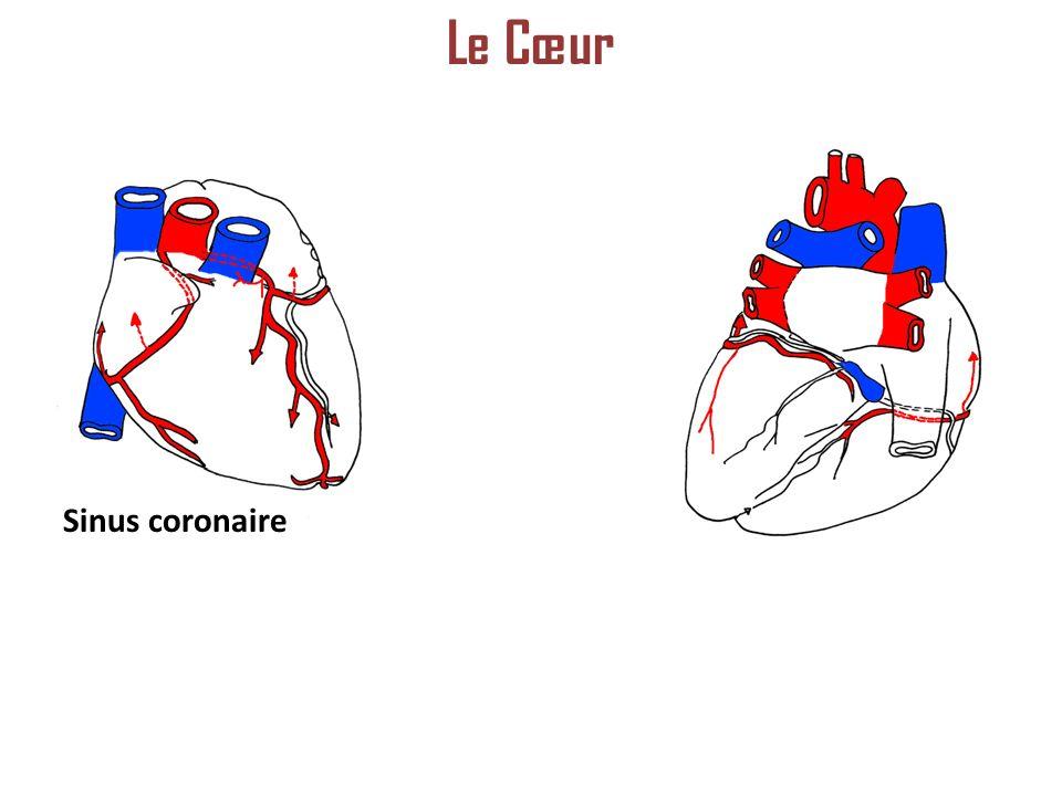 Sinus coronaire Le Cœur