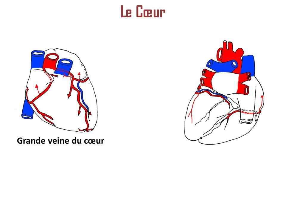 Grande veine du cœur Le Cœur
