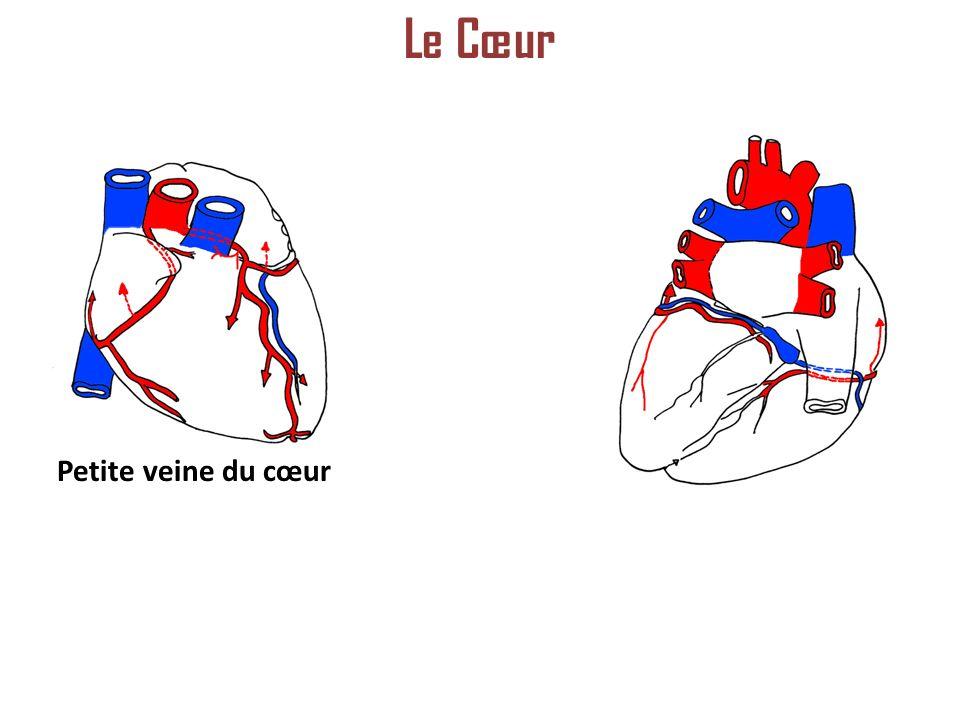 Petite veine du cœur Le Cœur