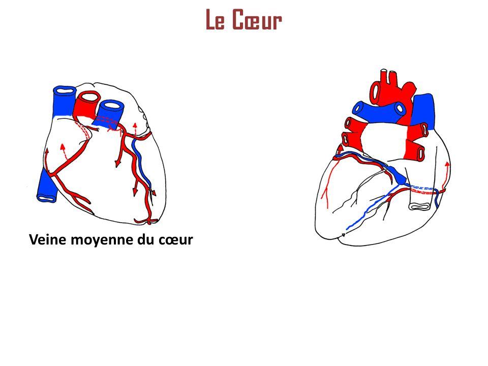 Veine moyenne du cœur Le Cœur